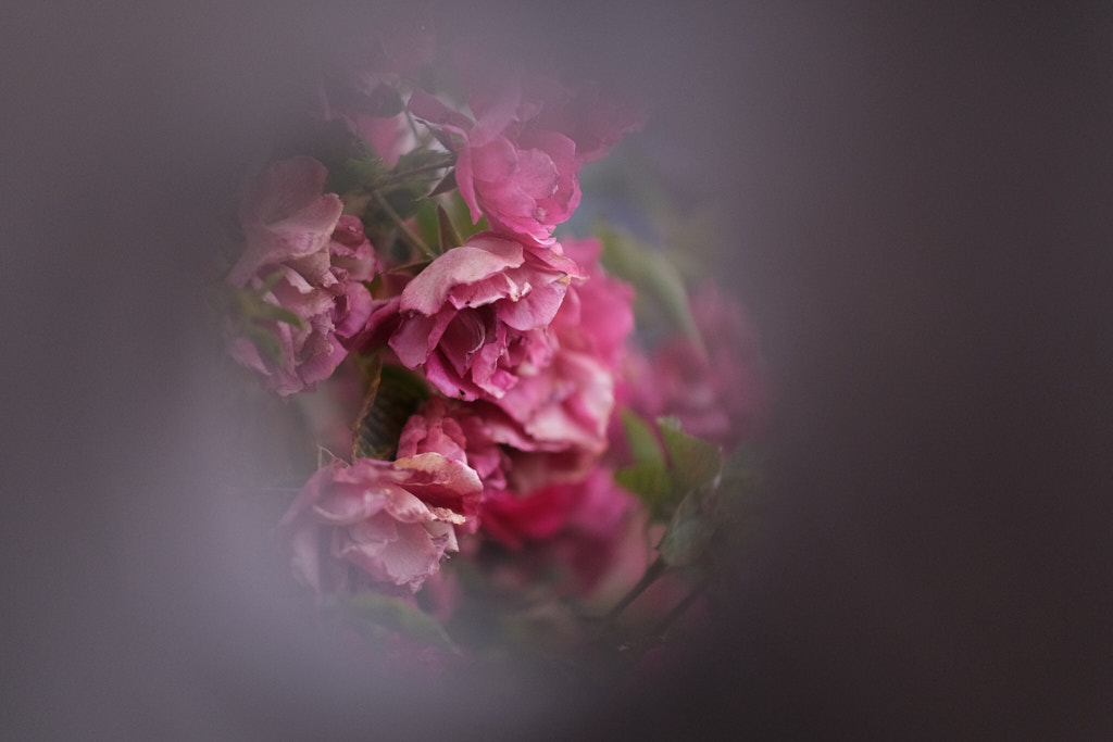 Photo of red-ish roses through a hole in a fence