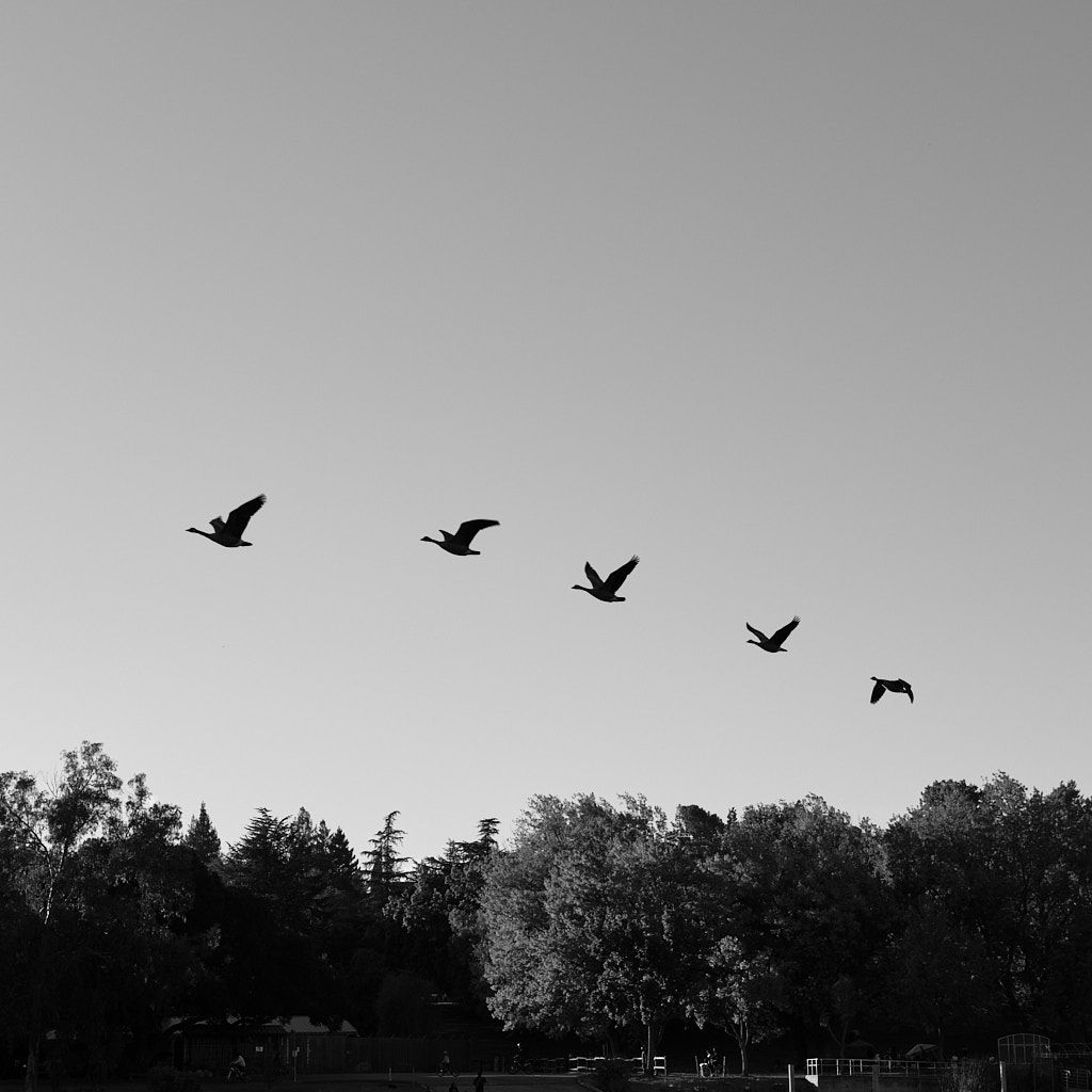 Five geese flying away for the winter
